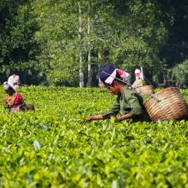 Assam / Indien