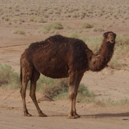 Arabisches Kamel